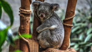 Koala High Definition Wallpapers