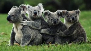 Koala Wallpapers And Backgrounds