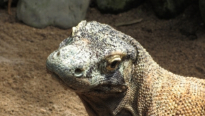 Komodo Dragon 1080p