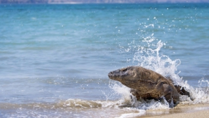 Komodo Dragon Wallpaper Free