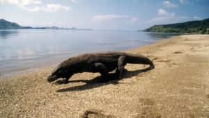 Komodo Dragon Full Hd