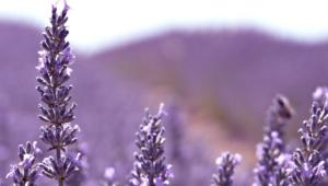 Lavender Computer Wallpaper
