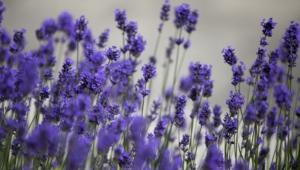 Lavender Hd Background
