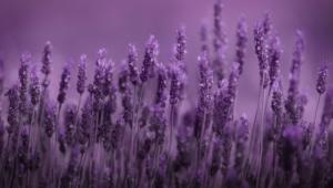 Lavender Hd Wallpaper