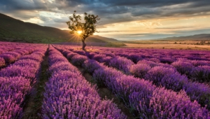 Lavender Photos