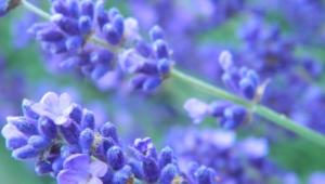 Lavender For Desktop