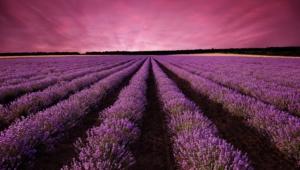 Lavender For Desktop Background