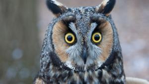 Long Eared Owl Desktop