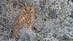 Long Eared Owl Hd Wallpaper