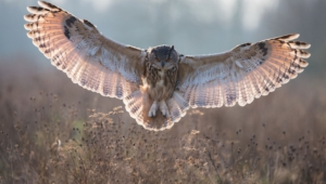 Long Eared Owl High Quality Wallpapers