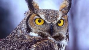 Long Eared Owl Wallpapers