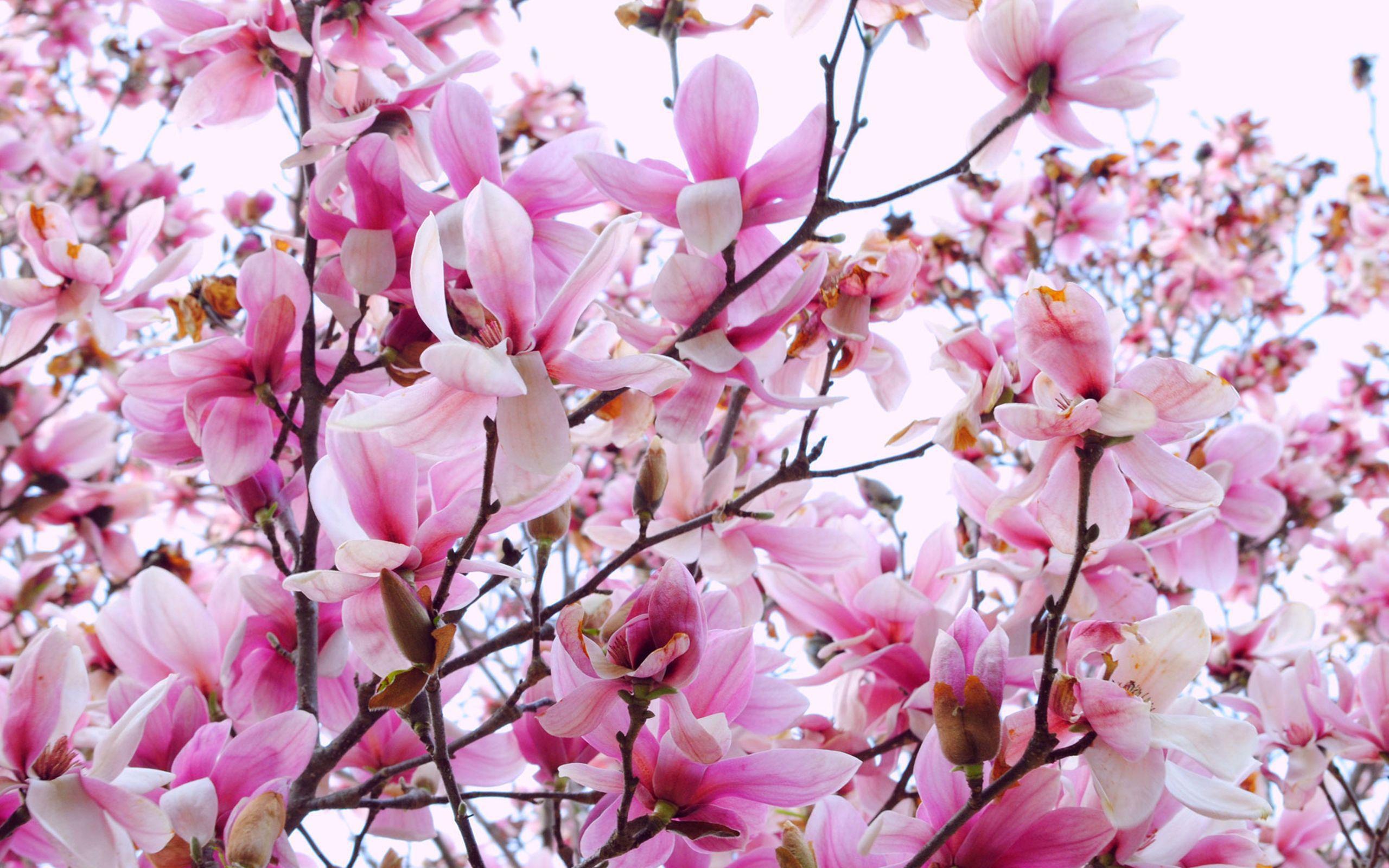 Magnolia for desktop background - Magnolia background ...