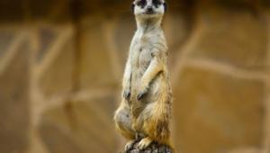 Meerkat 1080p