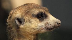 Meerkat 9548
