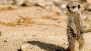 Meerkat Free Download