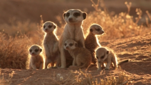 Meerkat Free Hd Wallpapers