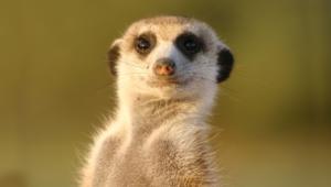 Meerkat High Definition
