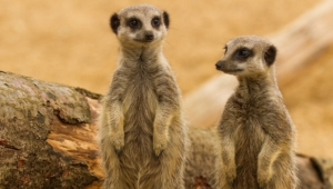 Meerkat Wallpaper For Laptop