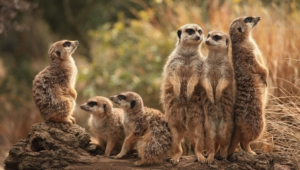 Meerkat Wallpapers Hd