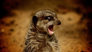 Meerkat For Pc
