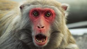 Monkey 4k