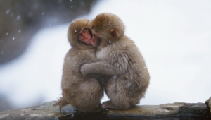 Monkey Computer Wallpaper