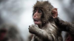 Monkey Widescreen