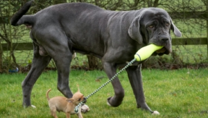 Neapolitan Mastiff High Definition
