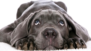 Neapolitan Mastiff Wallpaper