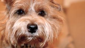 Norfolk Terrier 4k