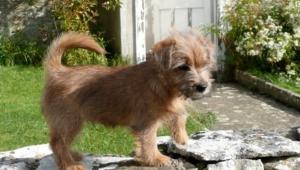 Norfolk Terrier Background