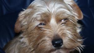 Norfolk Terrier Desktop