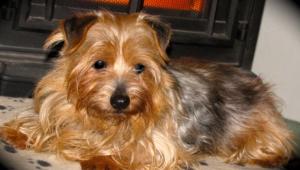 Norfolk Terrier Images