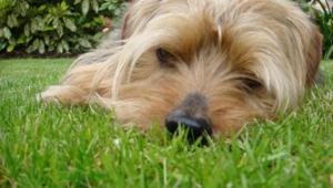 Norfolk Terrier Wallpapers