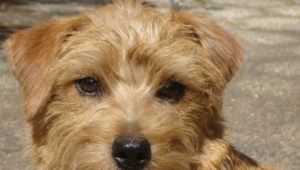 Norfolk Terrier Wallpapers Hq