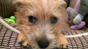 Norfolk Terrier For Desktop