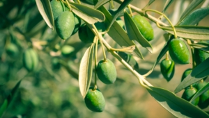 Olives High Definition Wallpapers