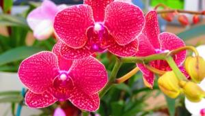 Orchid Hd Desktop