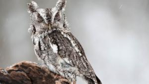 Owl 4k
