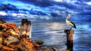 Pelican Hd Desktop
