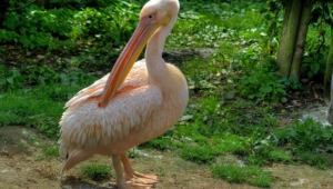 Pelican High Definition