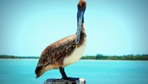 Pelican For Desktop