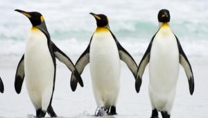 Penguin For Desktop