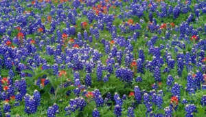 Pictures Of Bluebonnet