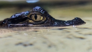 Pictures Of Caiman
