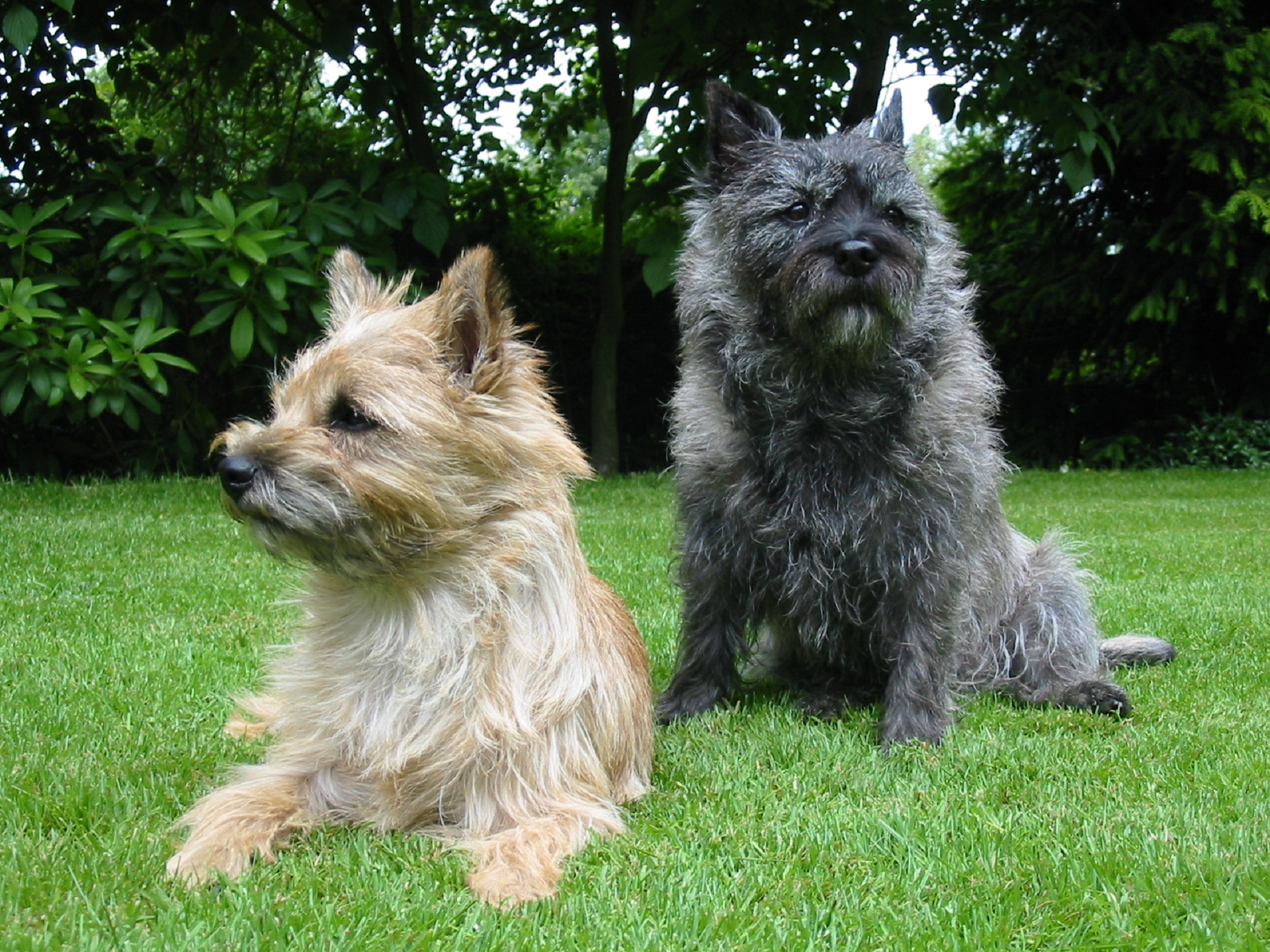 Pictures Of Cairn Terrier