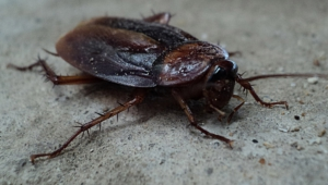 Pictures Of Cockroach