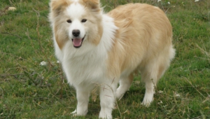 Pictures Of Collie