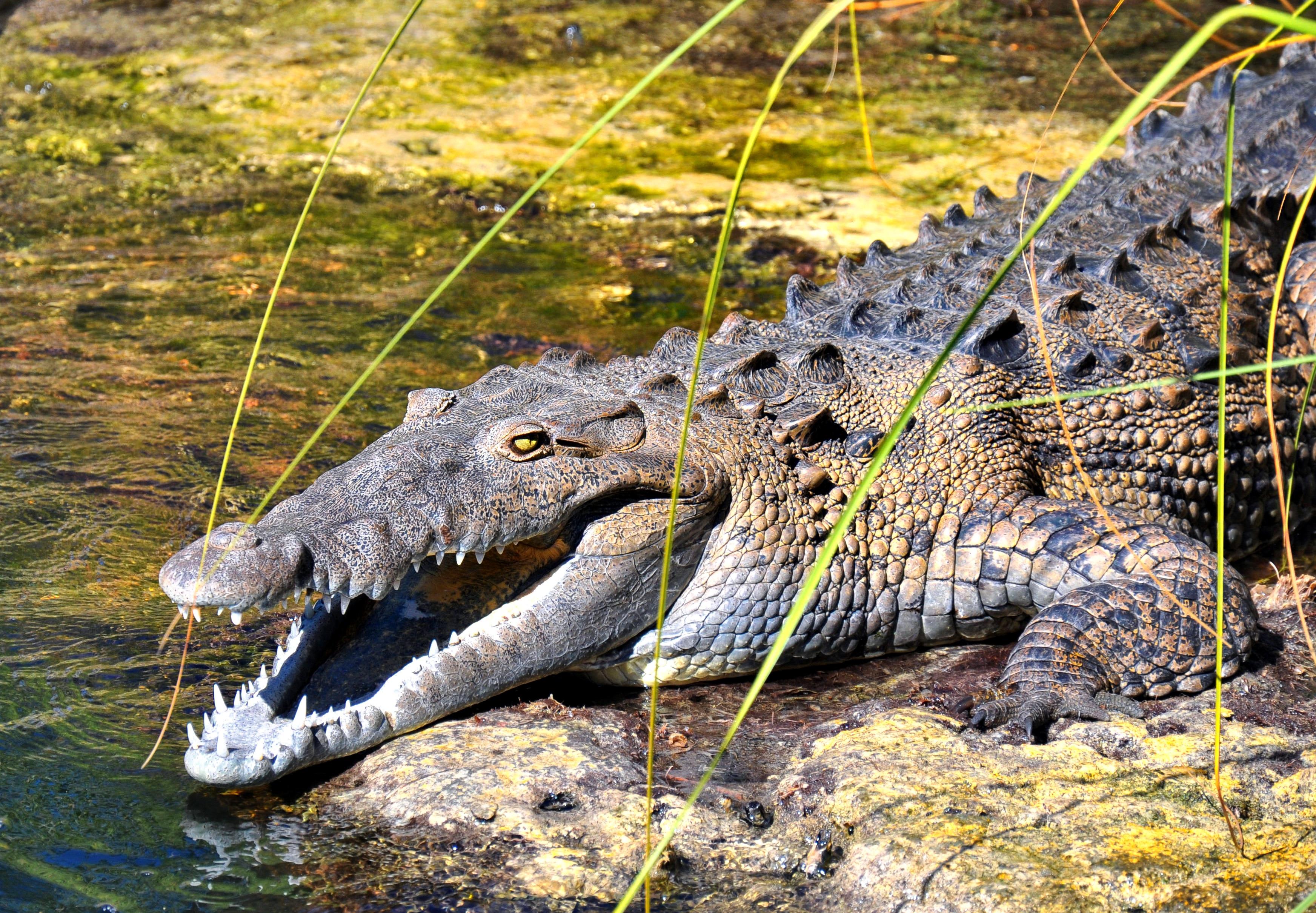 a study of the american crocodile