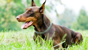 Pictures Of Doberman Pinscher